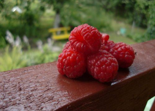 Красная малина сорта блестящая