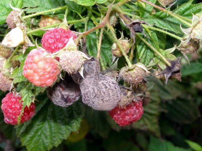 Поражённые ягоды малины грибком