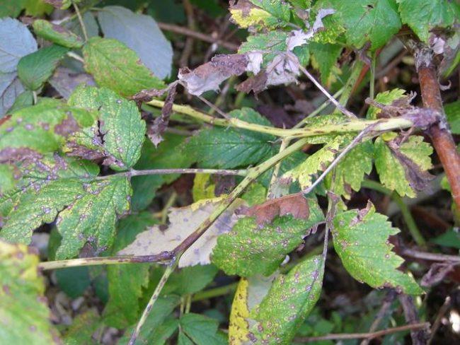 Поражённые стебли малины