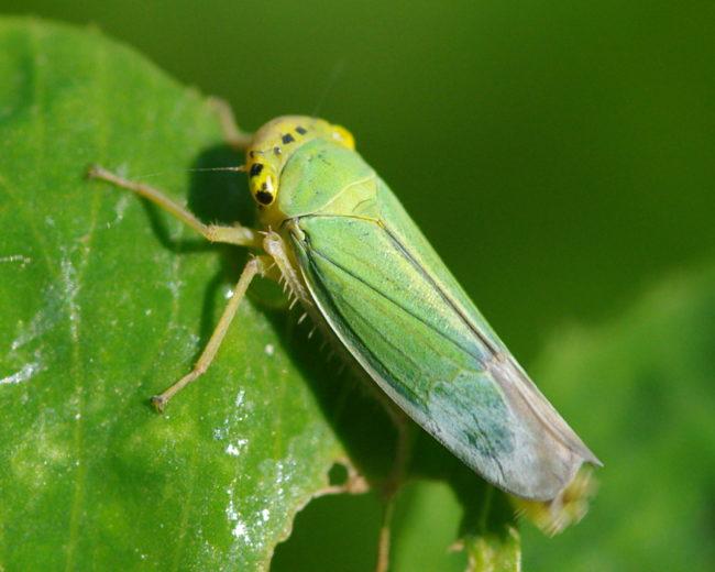 Цикадка зелёная на листке