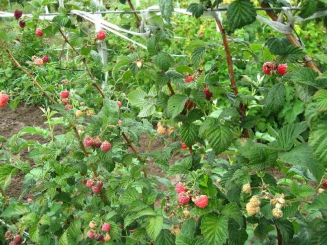 Кусты малины в саду