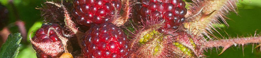Плоды японской малины вблизи