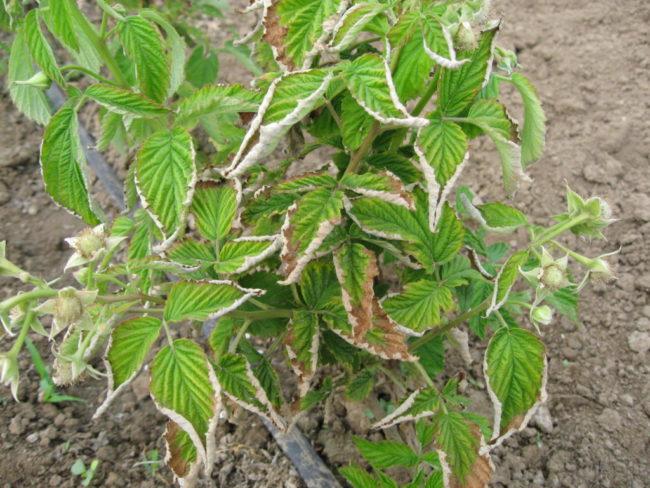 Курчавость листьев малины