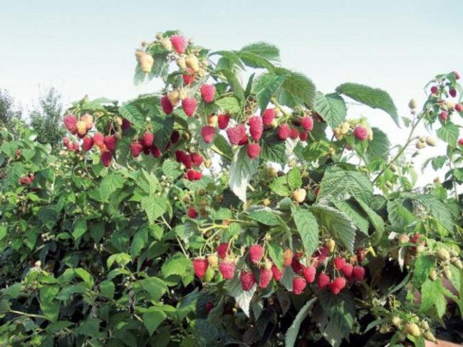 Куст малины с красными ягодами