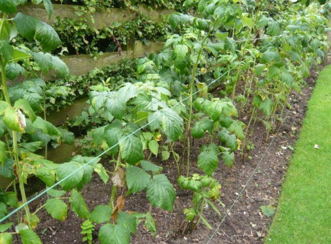 Зелёные кусты малины в саду