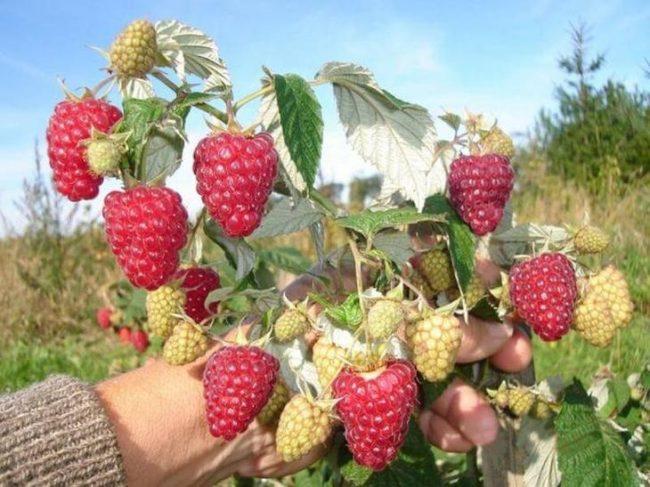 Красные ягоды малины на кусте