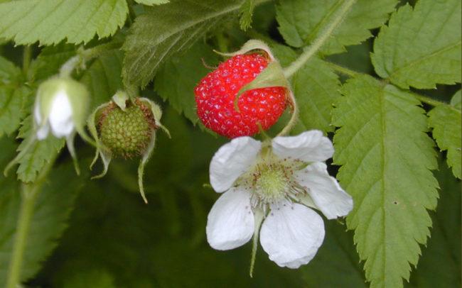 Цветок малины и красная ягода