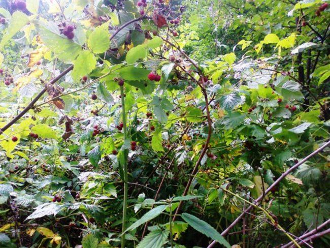 Малина в саду с засохшими ветками