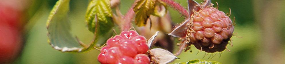 Плоды и куст болеющей малины вблизи