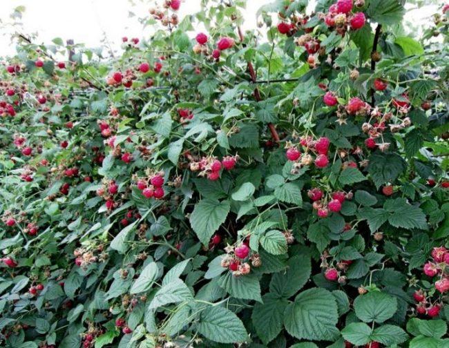 Зелёный куст малины с ягодами