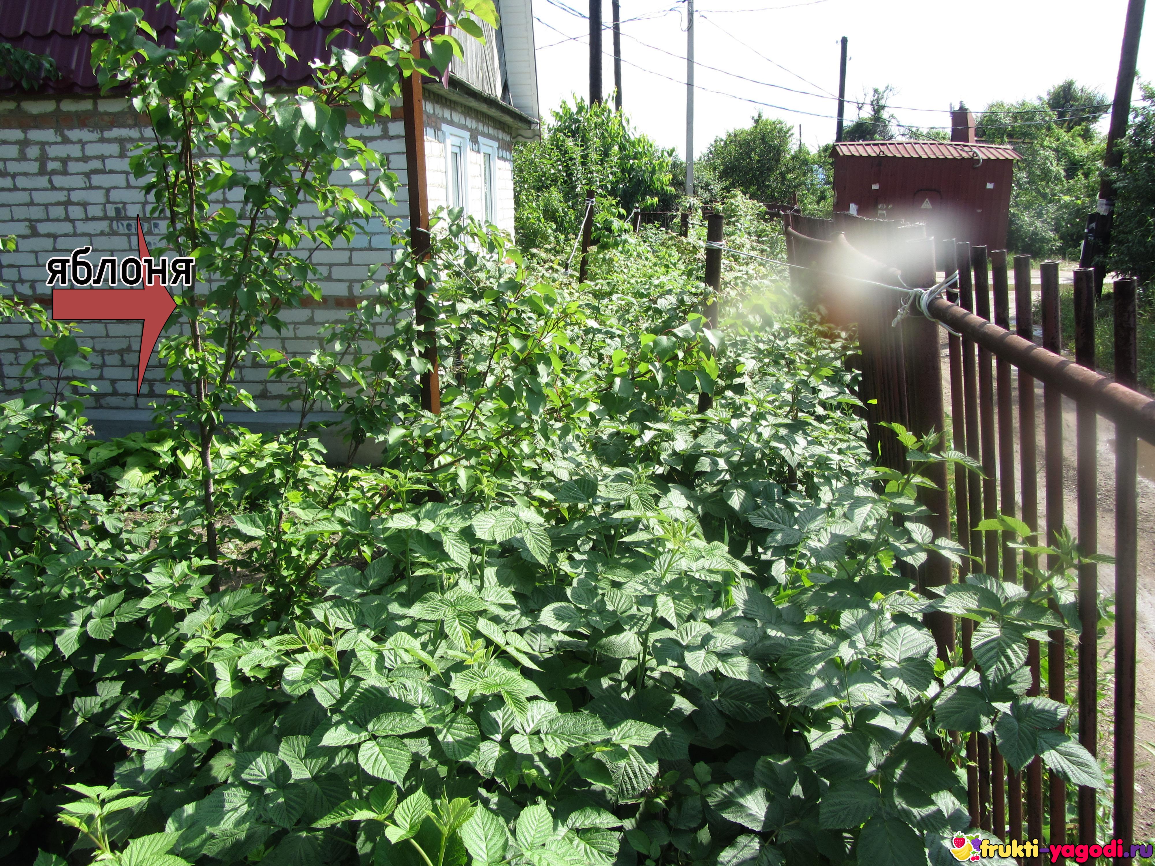Что посадить рядом с вишней: оптимальное соседство 53