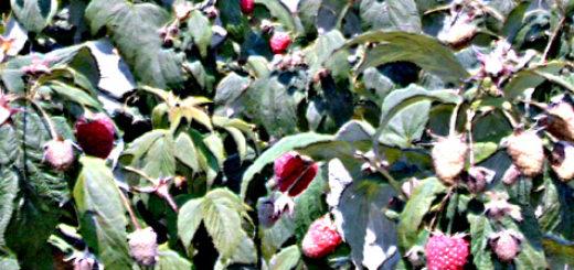 Куст малины полька и её плоды