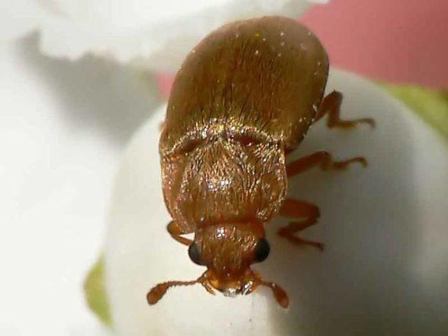 Малинный жук коричневого цвета