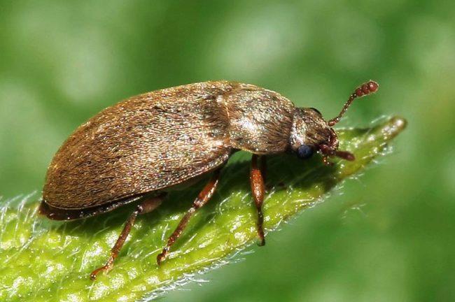 Малинный жук на зелёном листке