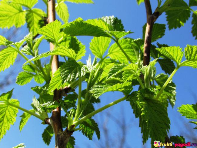 Молодые листья и стебли малины после весенней обрезки