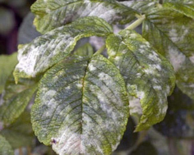 Мучнистая роса на зелёных листьях малины