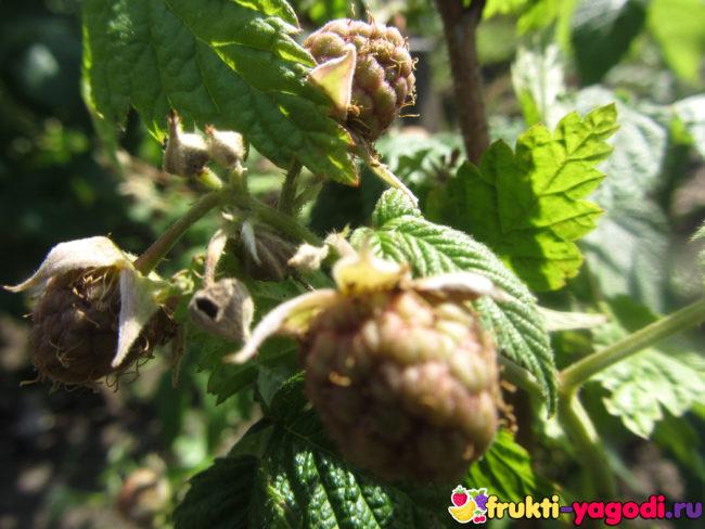Ягоды обычной малины зелёные вблизи
