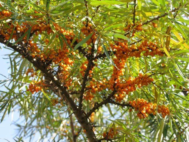Облепиха с оранжевыми ягодами