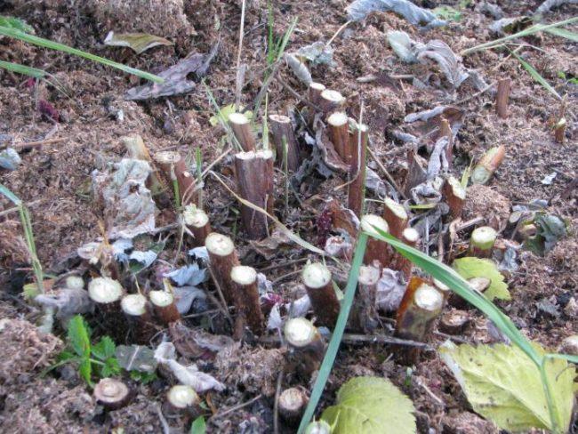 Подрезанная у основания малина осенью