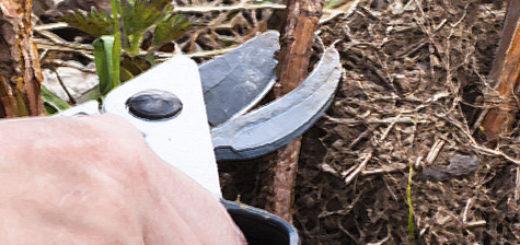 Обрезка ремонтантной малины осенью при помощи секатора