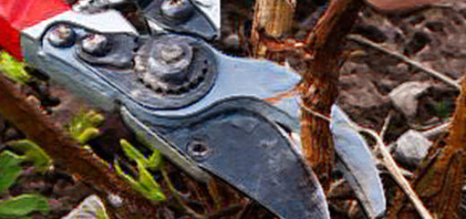 Осенняя обрезка малины под корень секатором