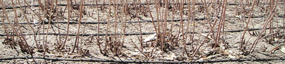 Кусты малины перед обрезкой весной