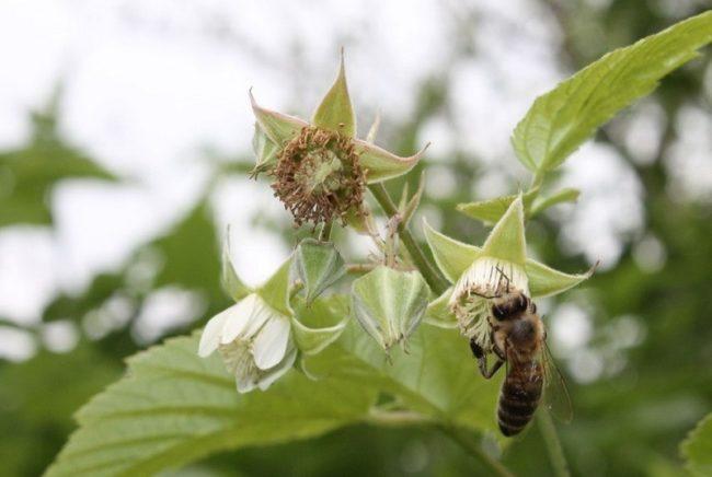Опыление цветков малины пчелой
