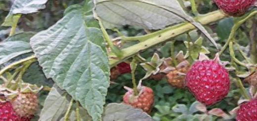 Ягоды сорта осенняя красавица