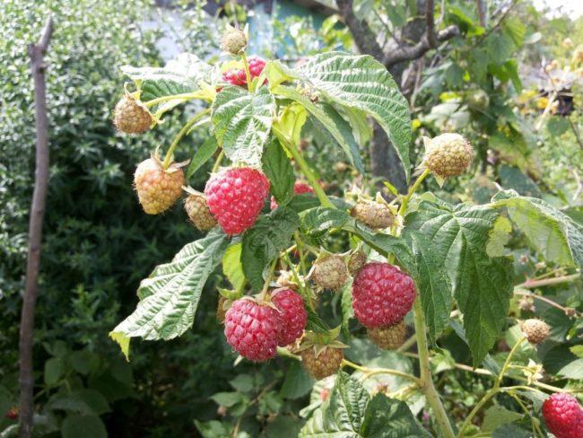 Сорт малины осенняя красавица