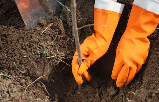 Высаживание малины в перчатках