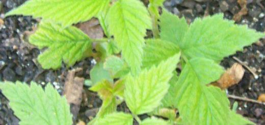 Посадка саженца малины весной