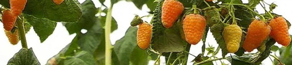Ремонтантная малина в саду вблизи