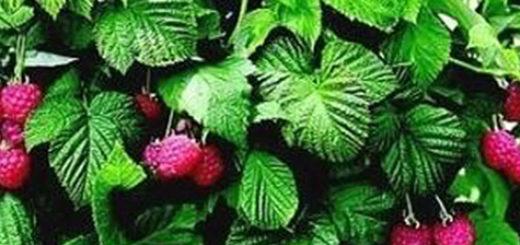 Куст и плоды ремонтантной малины