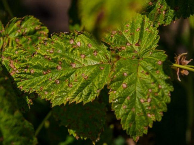 Ржавые пятна на листьях малины
