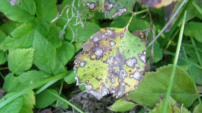 Септориоз малины на листьях