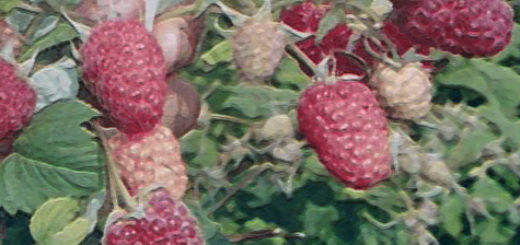 Сорт малины Геракл выращена в Сибири стебель