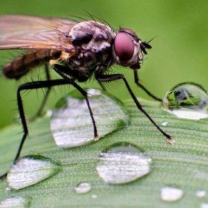 Стеблевая муха и роса на листке