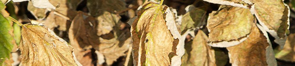 Заболевание малины сухие листья на стебле