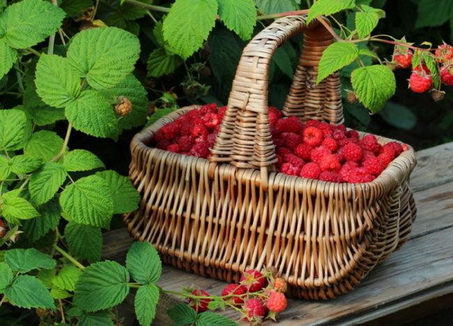 Урожай малины в плетёной корзине