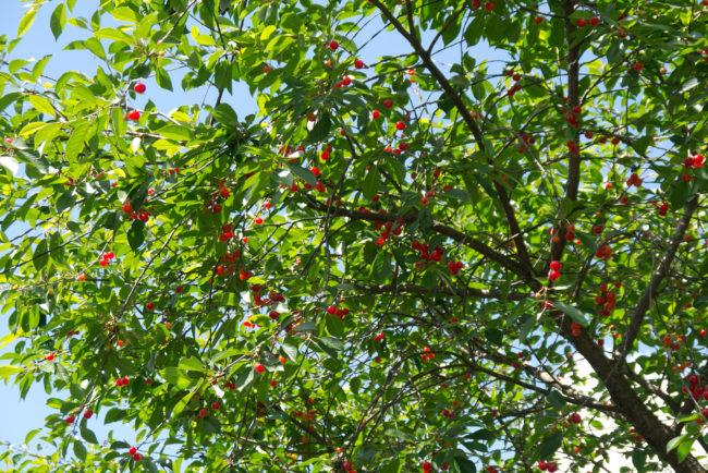 Дерево вишни с красными ягодами