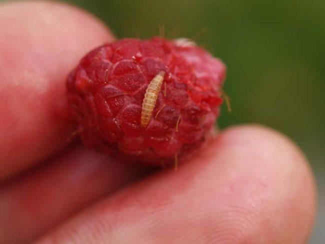 Личинка малинного жука на ягоде малины