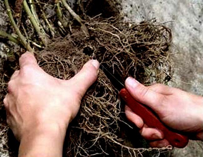 Разделение куста малины у корней