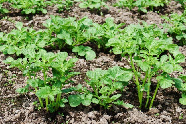 Картофель посаженный в саду