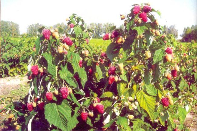 Ремонтантная малина произрастающая в саду