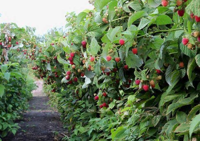 Кусты малины с ягодами в саду