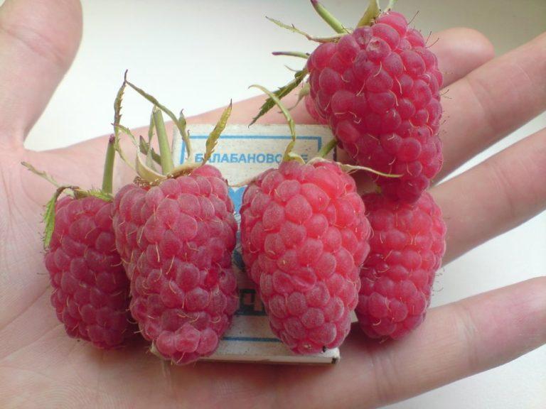 Сорт малины карамелька фото и описание