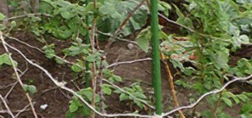 Rrecns малины привязанные к шпалере