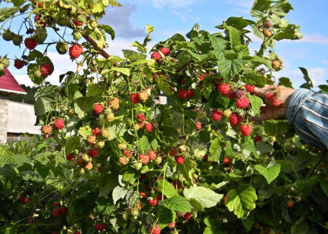 Куст малины в саду и рука