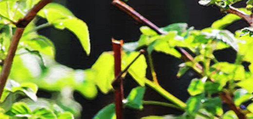 Куст малины весной стебель и листья