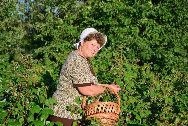 Женщина в саду у куста малины